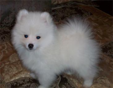 Dog Show American Eskimo